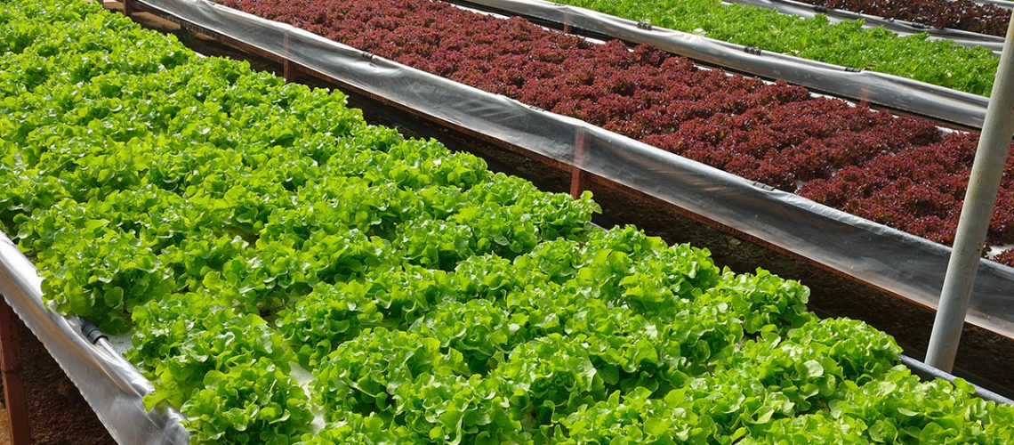 The growing organic vegetables in the hydroponic farm